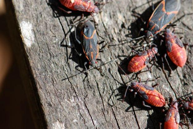 boxelder-bugs-group