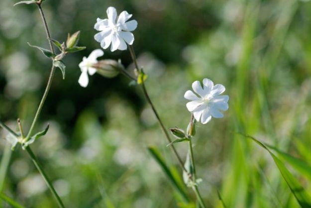 silen-white-campion-plants