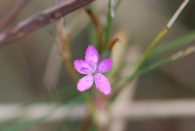 danthus-pink-flower-22