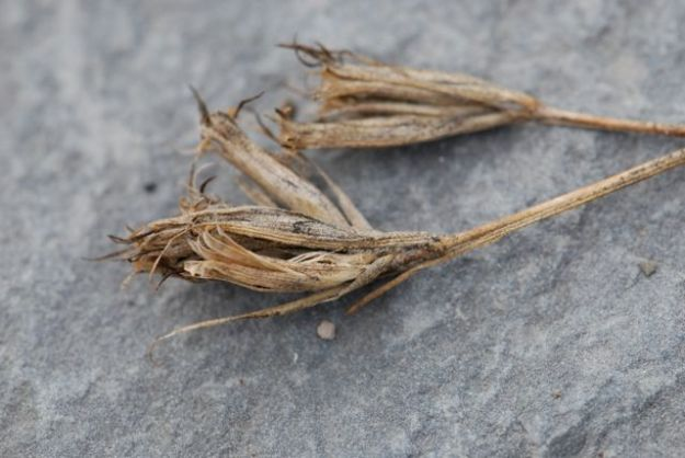 dianthus-pink-seed-pod