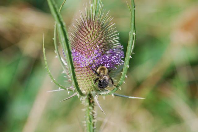 teasel-bumble-bee-22