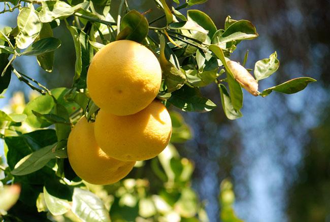 grapefruit-cluster-cropped
