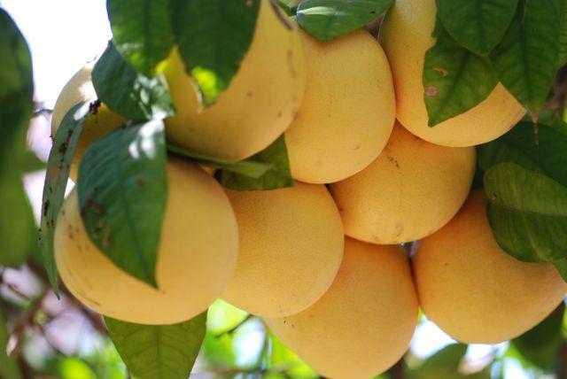 grapefruitt-cluster-big