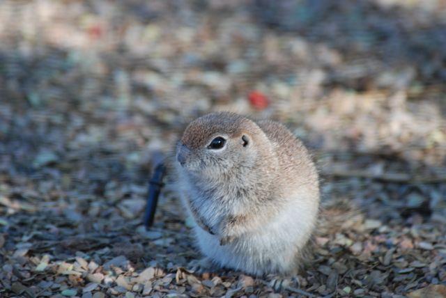 ground-squirrel-puffy