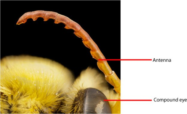 bee-antenna-labelled-head