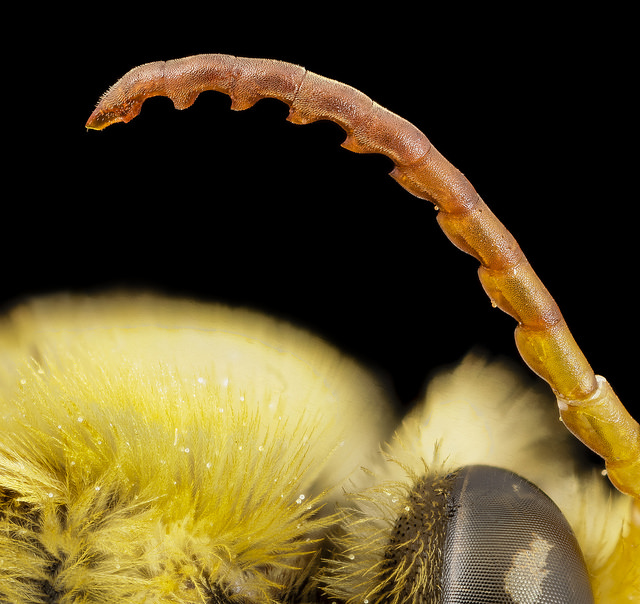 close-up-bee-antenna
