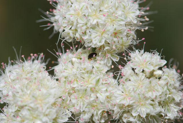 flat-top-buckwheat-with-bug