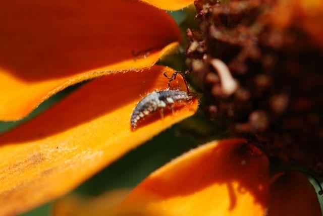 lacewing-larva-on-zinnia-flower-2