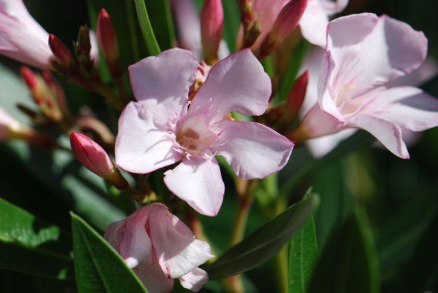 oleander-flower-EVIT-close