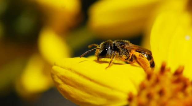 solitary-bee-with-pollen
