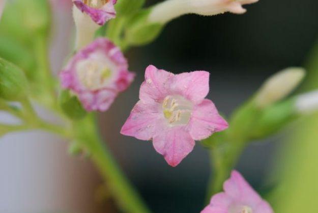 tobacco-flowers
