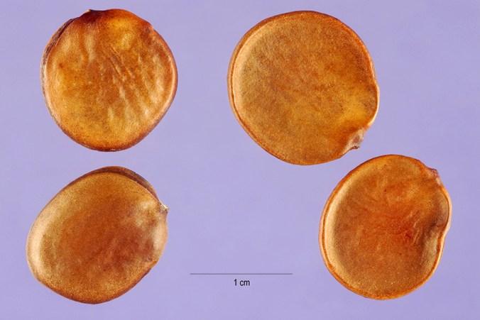Bauhinia variegata seeds