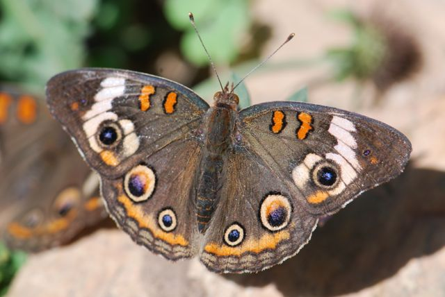 buckeye-butterfly-sunning