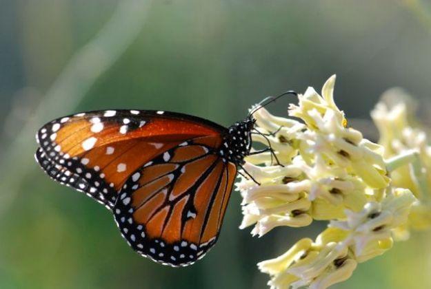 queen-butterfly-339-feeding