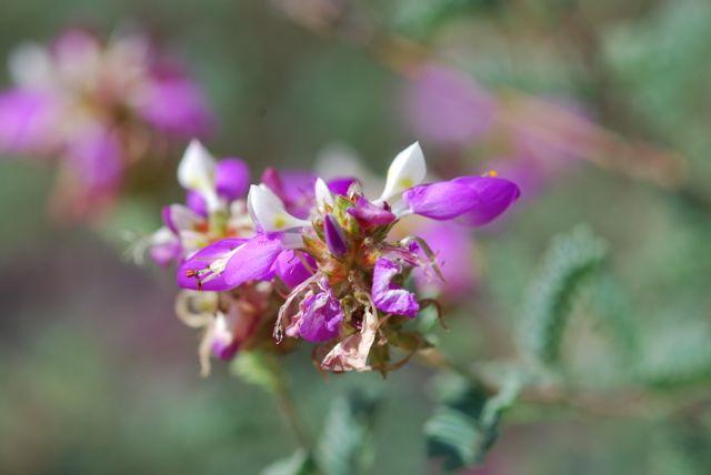 Dalea-flower-close-up-0089