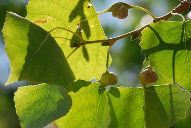cottonwood-petiole-gall-122