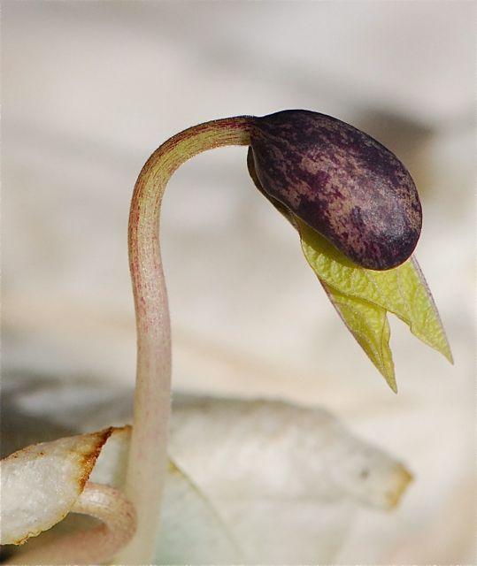 bean-seed-growing