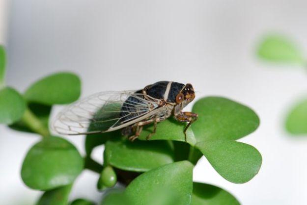 cicada-side-good
