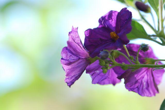 solanum-potato-bush-flowers87