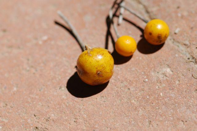 solanum-silverleaf-nightshade-dried-fruit-135