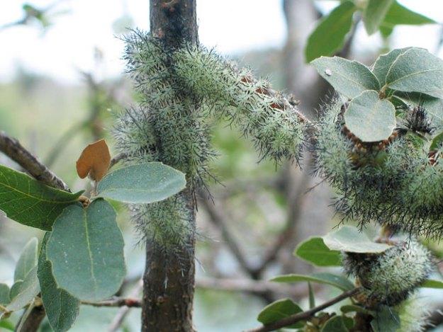 Zephyr-Eyed-Silkmoth-Caterpillar-4589
