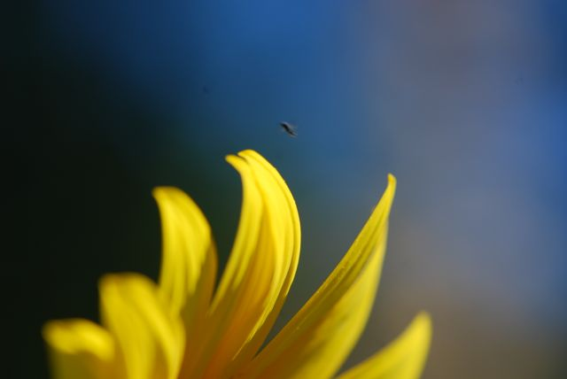 sunflower-flying-wasp-18