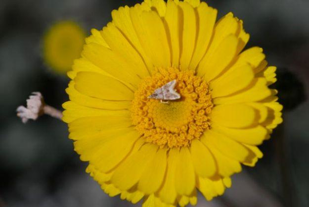 yellow-bells-moth