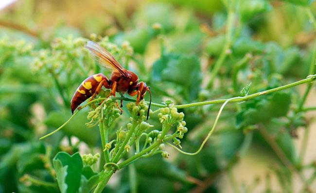 cicada-killer-wasp-023