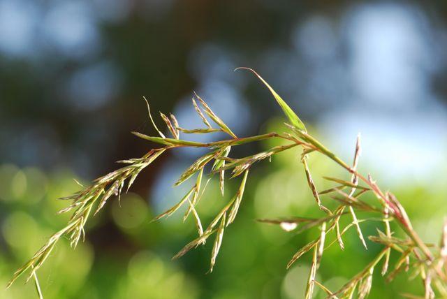 lemongrass-going-to-flower-65