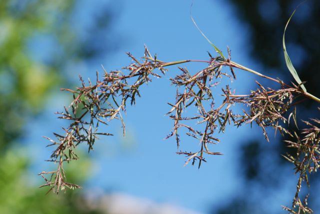 my-lemongrass-flower-12