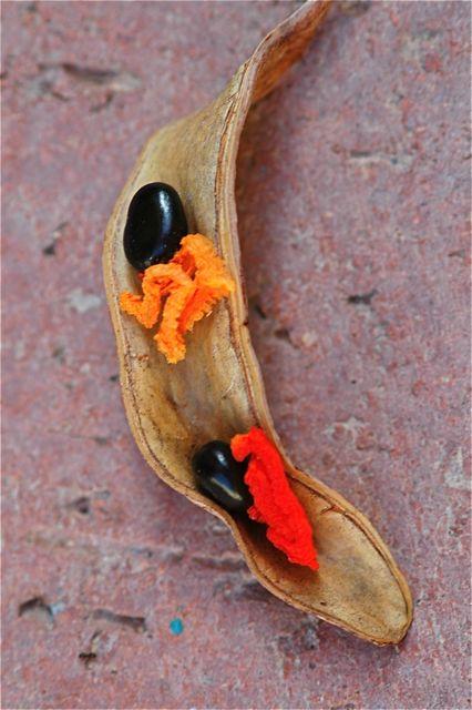 acacia-salicina-seed