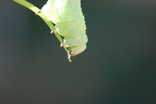 rustica-caterpillar-4444