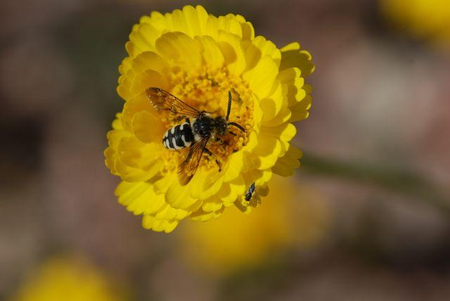cuckoo-bee