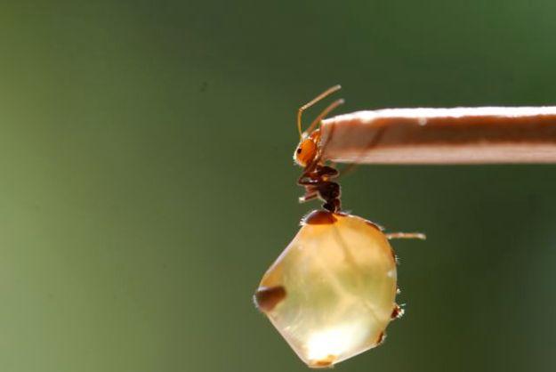 lovely-honeypot-ant-replete-8