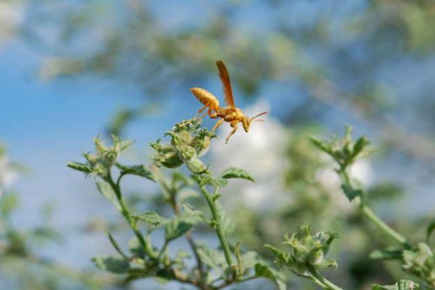 paper-wasp-hunting-058