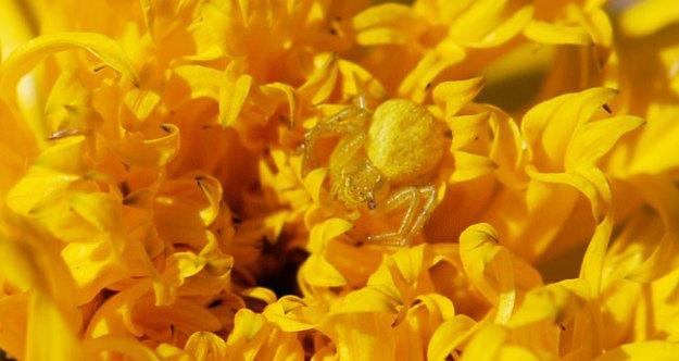 yellow-crab-spider-close