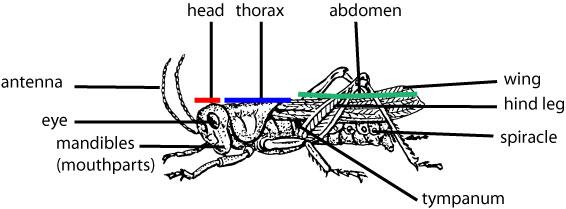 100+ [ Grasshopper Dissection Lab Worksheet