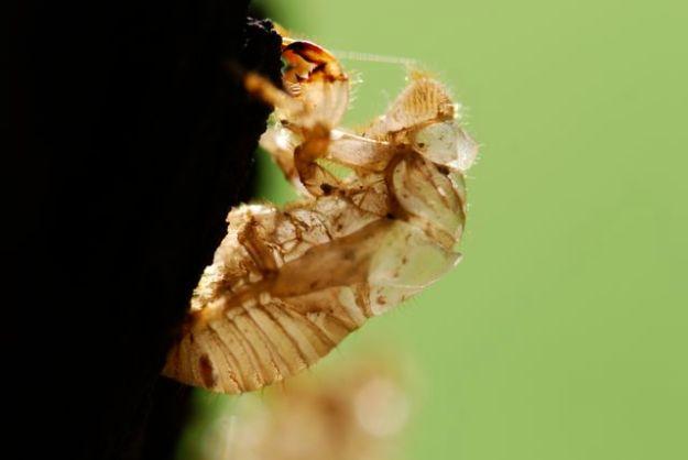 cicada-nymph-close-gd42