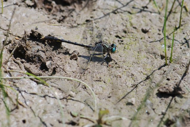 darner-dragonfly_0673