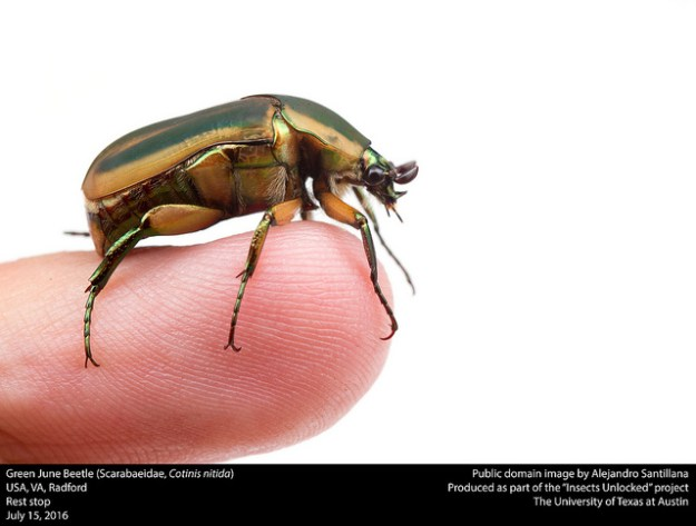 public-domain-green-june-beetle