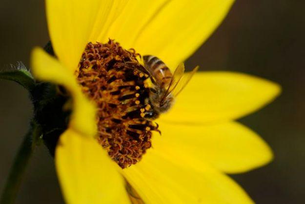 honey-bee-sunflower