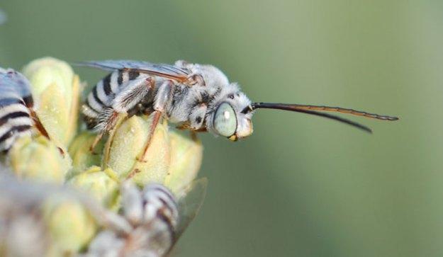 Bug of the Week:  Sleeper or Long-horned Bees