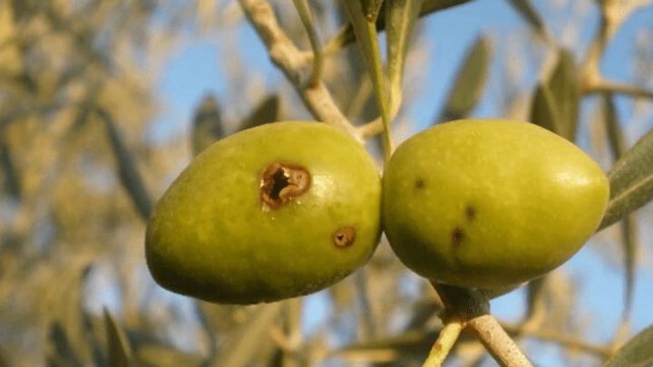 mosca-del-olivo-2