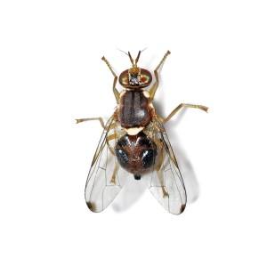 mosca-del-olivo