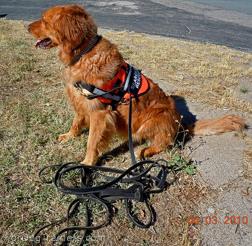 Golden-Retriever-Lacie-is-pleased-with-new-Tracking-Leather-Dog-Leash_LRG