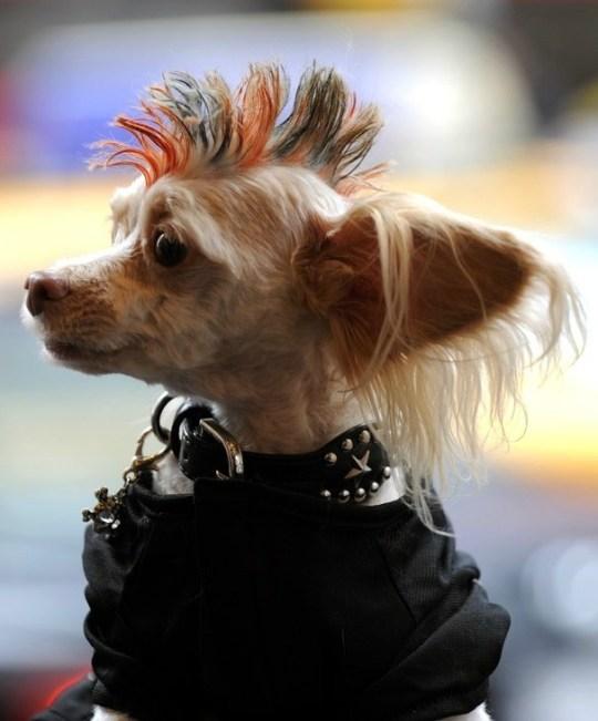 Punky dog