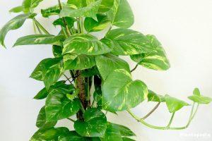 Philodendron plantas tóxicas para los perros