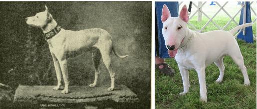 bull terrier races de chiens