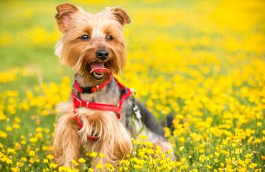 allergie saisonnière chez le chien