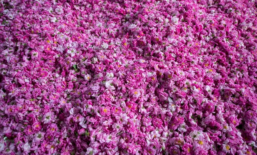 Flowers in Taif